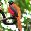 8-Sarawak-Borneo-Adventure-Kuching-Kubah-Red-naped-Trogon-498×500