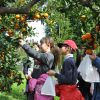Jeju-Mandarin-Orange-Farm